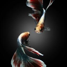 blackandwhite freetoedit petsandanimals photography fish