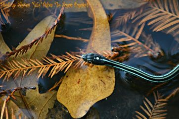 bayoukayaker nature water snake