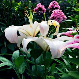 lilien wei flower photography